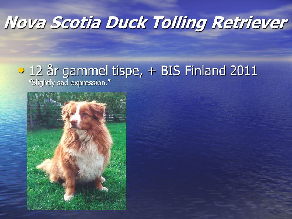 Nova Scotia Duck Tolling Retriever 12 år gammel tispe, + BIS Finland 2011 Slightly sad expression. 12 år gammel tispe, + BIS Finland 2011 Slightly sad expression.