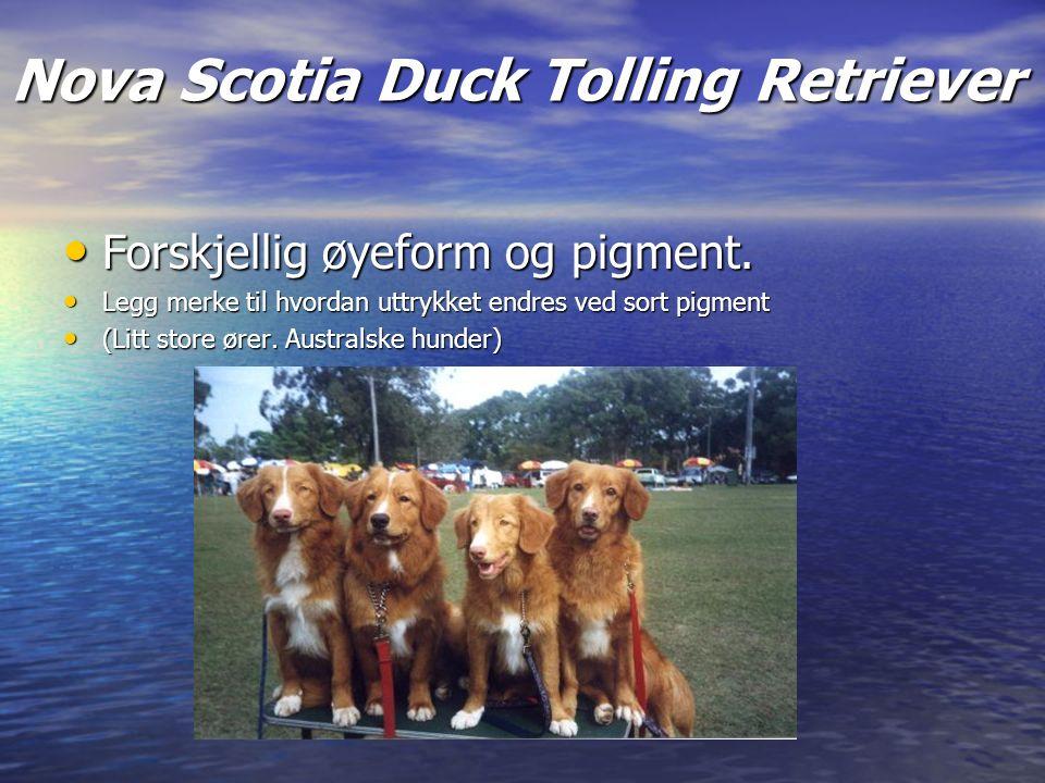 Nova Scotia Duck Tolling Retriever Forskjellig øyeform og pigment.