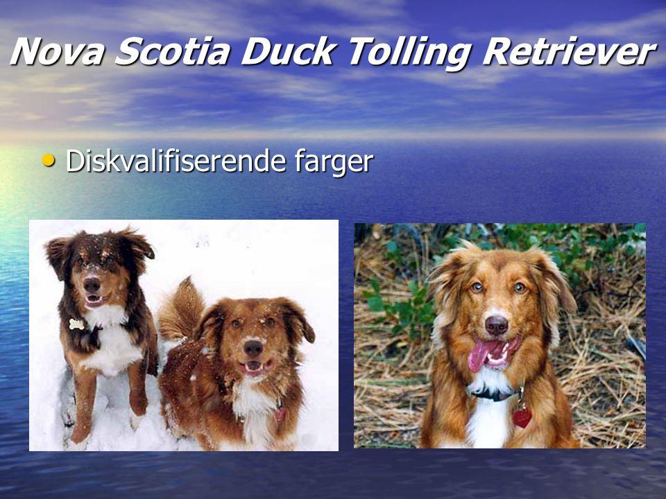 Nova Scotia Duck Tolling Retriever Diskvalifiserende farger Diskvalifiserende farger