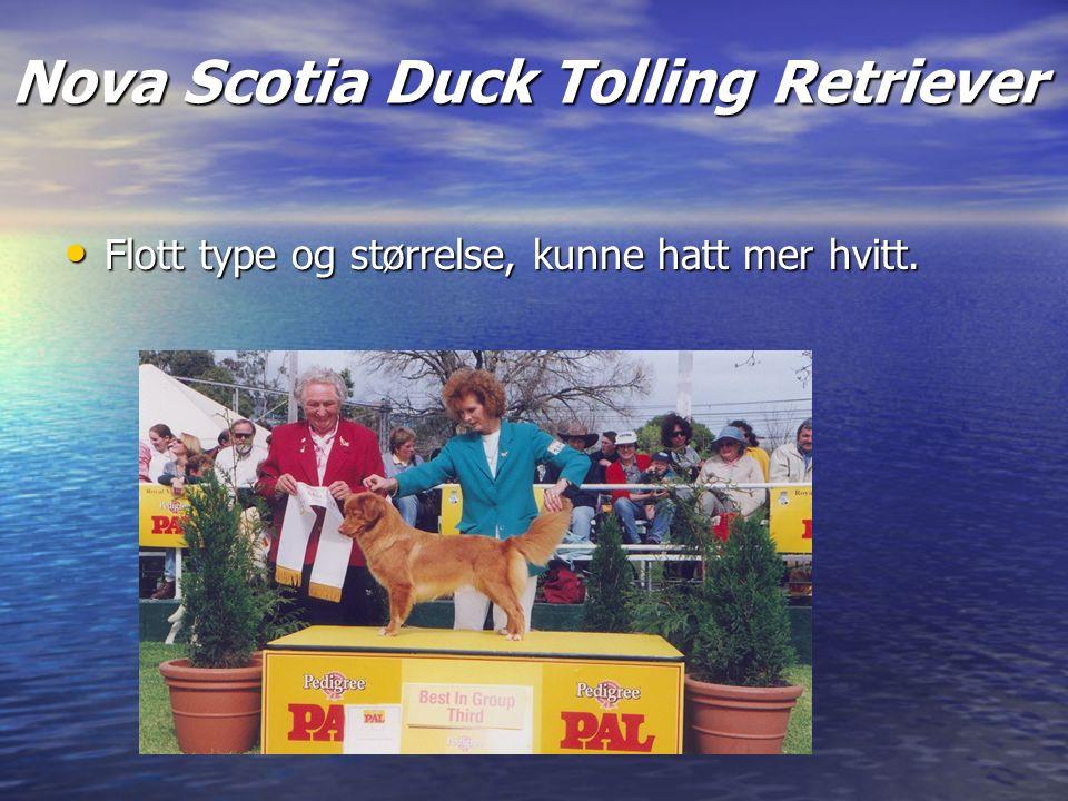 Nova Scotia Duck Tolling Retriever Flott type og størrelse, kunne hatt mer hvitt.