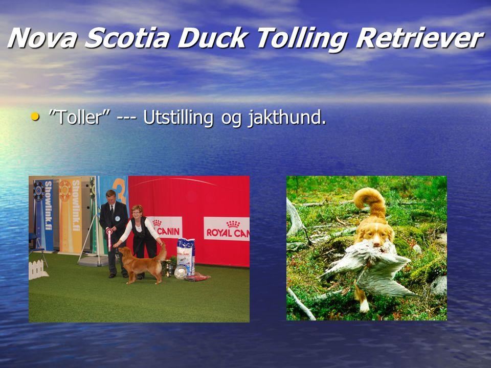 Nova Scotia Duck Tolling Retriever Toller --- Utstilling og jakthund.