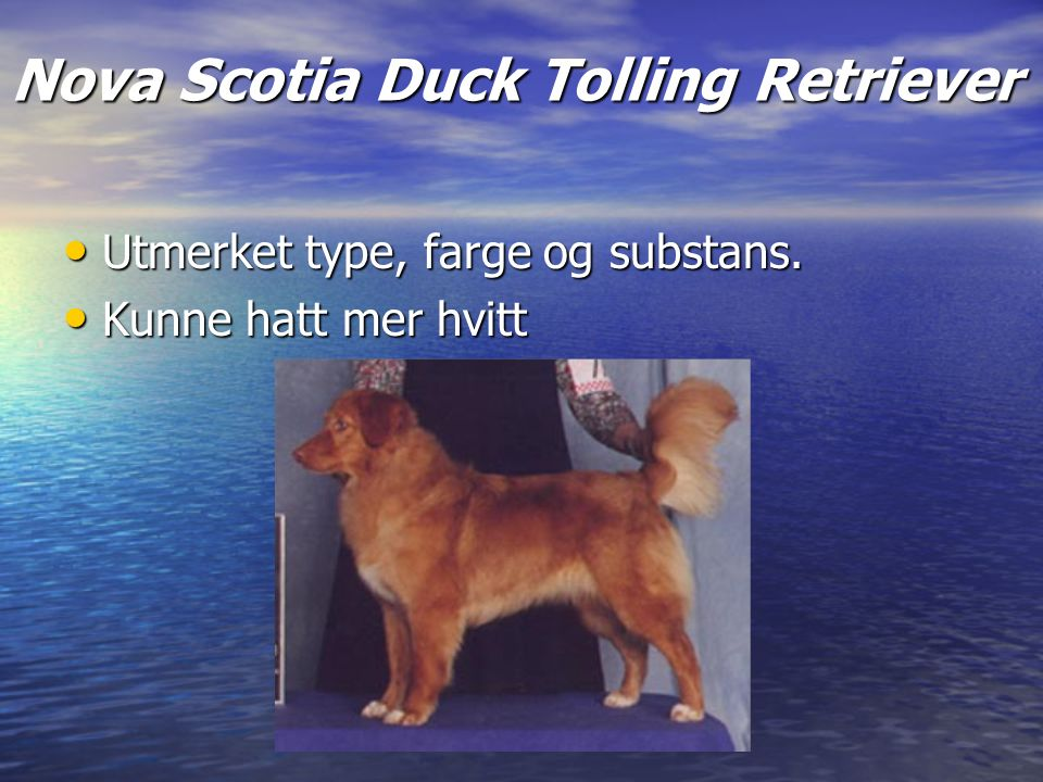 Nova Scotia Duck Tolling Retriever Utmerket type, farge og substans.