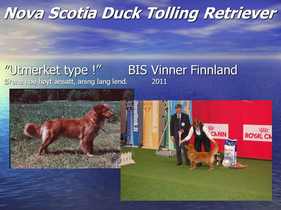 Nova Scotia Duck Tolling Retriever Utmerket type ! BIS Vinner Finnland Ørene noe høyt ansatt, aning lang lend.