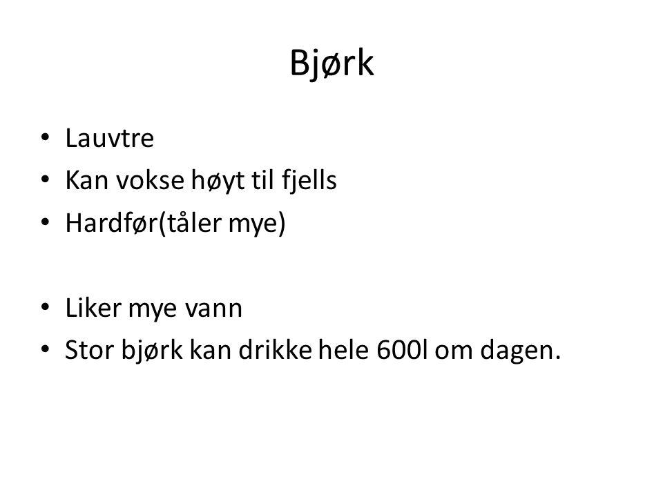 Bjørk Lauvtre Kan vokse høyt til fjells Hardfør(tåler mye) Liker mye vann Stor bjørk kan drikke hele 600l om dagen.