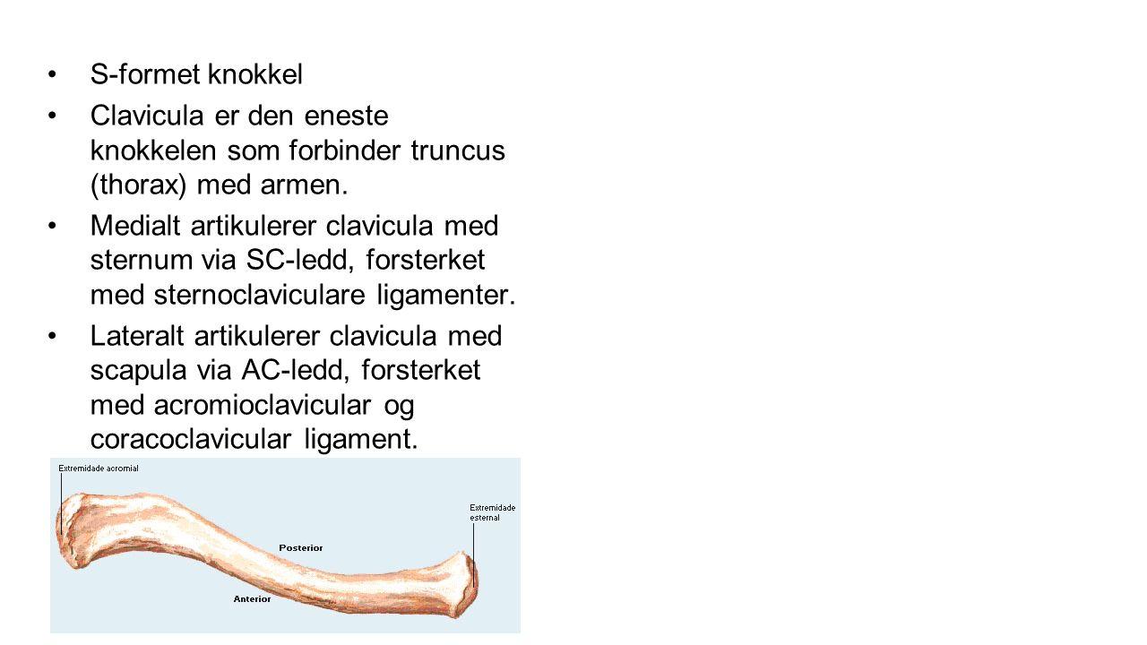 S-formet knokkel Clavicula er den eneste knokkelen som forbinder truncus (thorax) med armen.