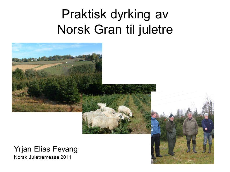 Praktisk dyrking av Norsk Gran til juletre Yrjan Elias Fevang Norsk Juletremesse 2011