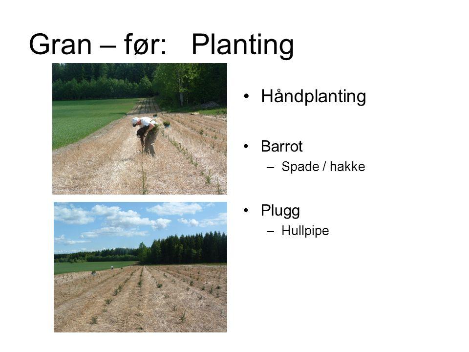 Håndplanting Barrot –Spade / hakke Plugg –Hullpipe Gran – før: Planting