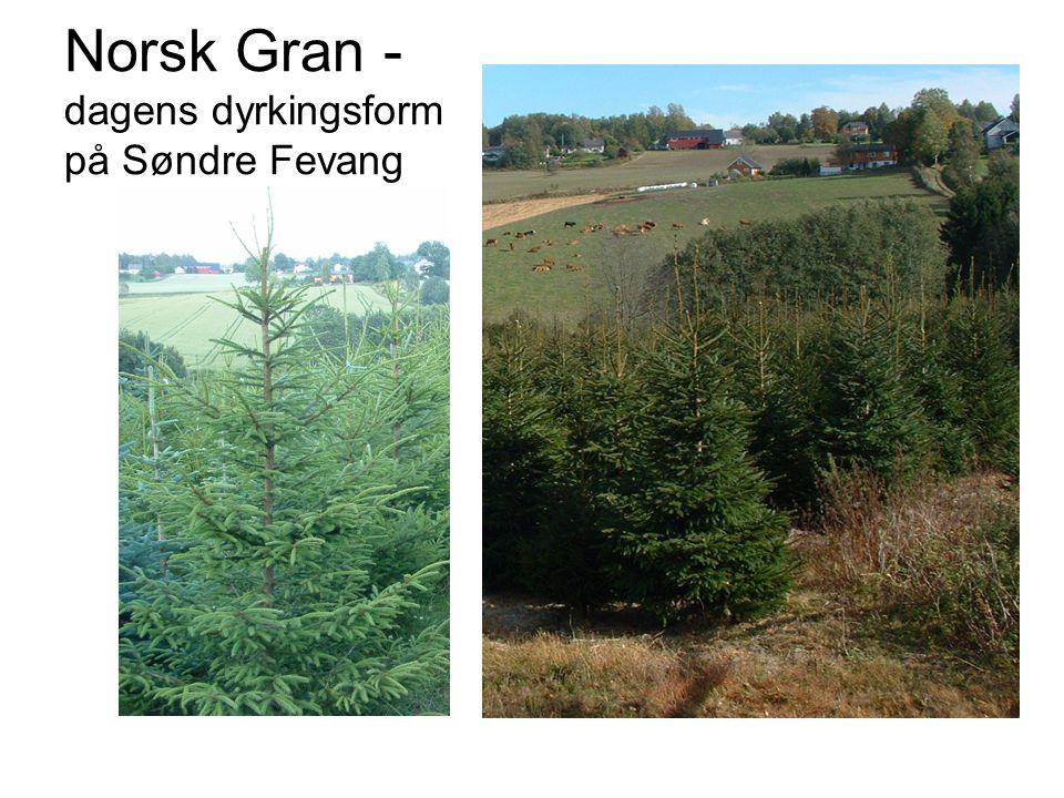 Norsk Gran - dagens dyrkingsform på Søndre Fevang