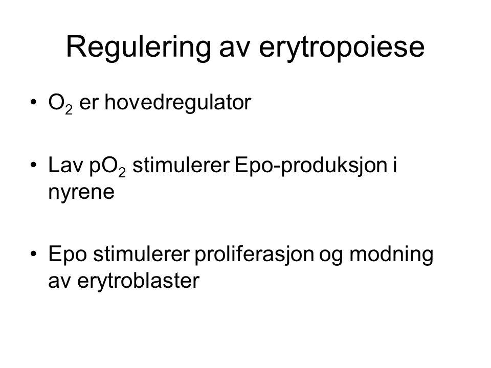 Regulering av erytropoiese O 2 er hovedregulator Lav pO 2 stimulerer Epo-produksjon i nyrene Epo stimulerer proliferasjon og modning av erytroblaster