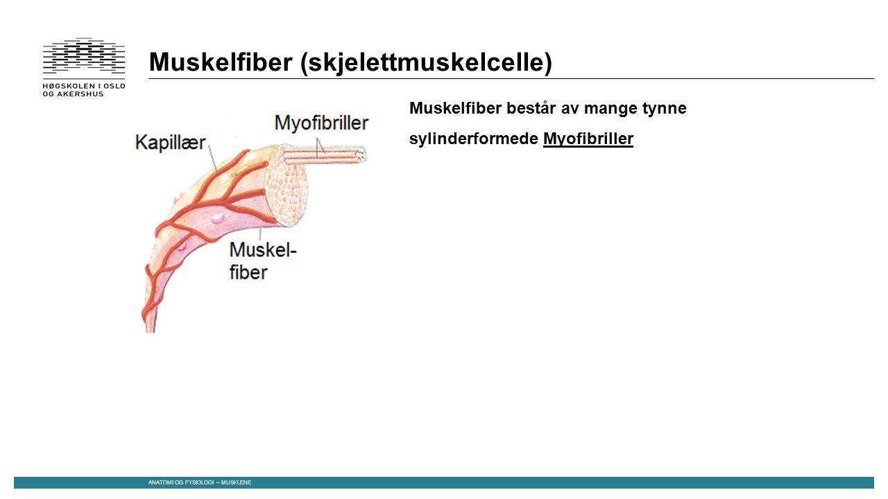 Muskelfiber (skjelettmuskelcelle) Muskelfiber består av mange tynne sylinderformede Myofibriller ANATOMI OG FYSIOLOGI – MUSKLENE