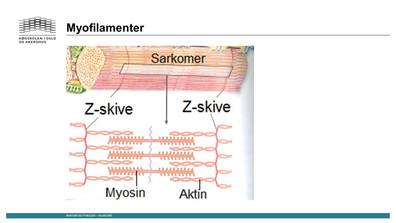 Myofilamenter ANATOMI OG FYSIOLOGI – MUSKLENE