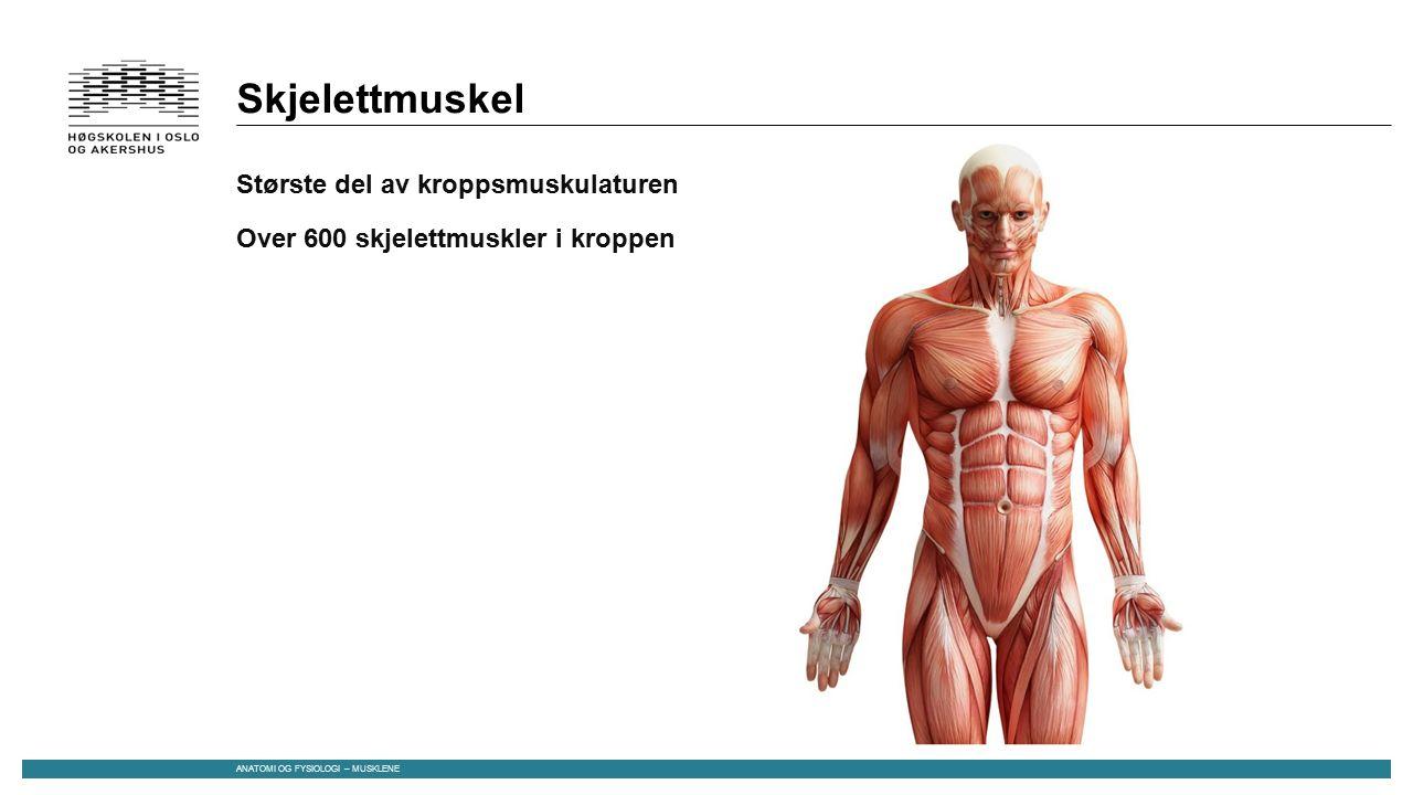 Skjelettmuskel Største del av kroppsmuskulaturen Over 600 skjelettmuskler i kroppen Består av: Muskelceller, bindevev, blodårer og nerver Dannes under fosterutviklingen Flere celler smelter sammen til «kjempeceller» -> mange kjerner ANATOMI OG FYSIOLOGI – MUSKLENE
