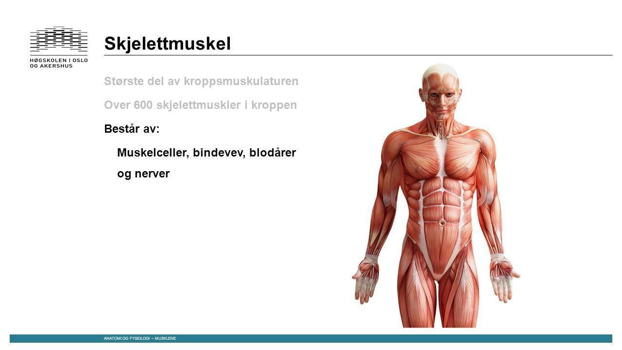 Skjelettmuskel Største del av kroppsmuskulaturen Over 600 skjelettmuskler i kroppen Består av: Muskelceller, bindevev, blodårer og nerver Dannes under fosterutviklingen -> Flere celler smelter sammen til «kjempeceller» -> mange kjerner ANATOMI OG FYSIOLOGI – MUSKLENE