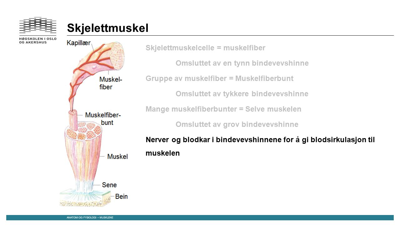 Skjelettmuskel Skjelettmuskelcelle = muskelfiber Omsluttet av en tynn bindevevshinne Gruppe av muskelfiber = Muskelfiberbunt Omsluttet av tykkere bindevevshinne Mange muskelfiberbunter = Selve muskelen Omsluttet av grov bindevevshinne Nerver og blodkar i bindevevshinnene for å gi blodsirkulasjon til muskelen Direkte kobling mellom alle bindevevshinnene og muskelsenen Senen er musklenes forbindelse til skjelettet ANATOMI OG FYSIOLOGI – MUSKLENE