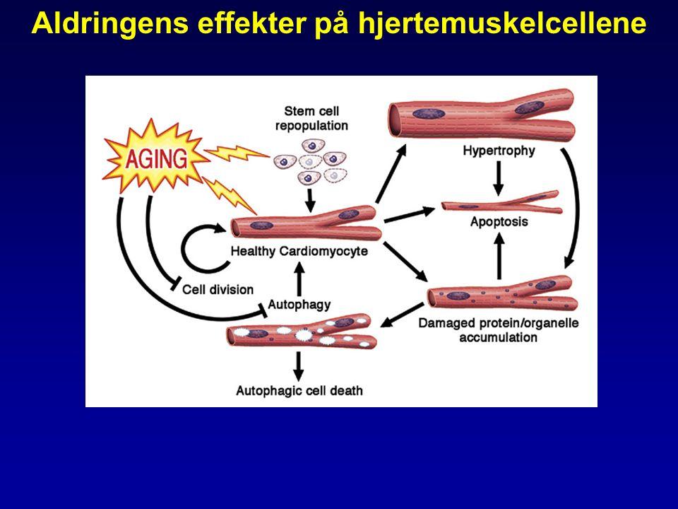 Aldringens effekter på hjertemuskelcellene