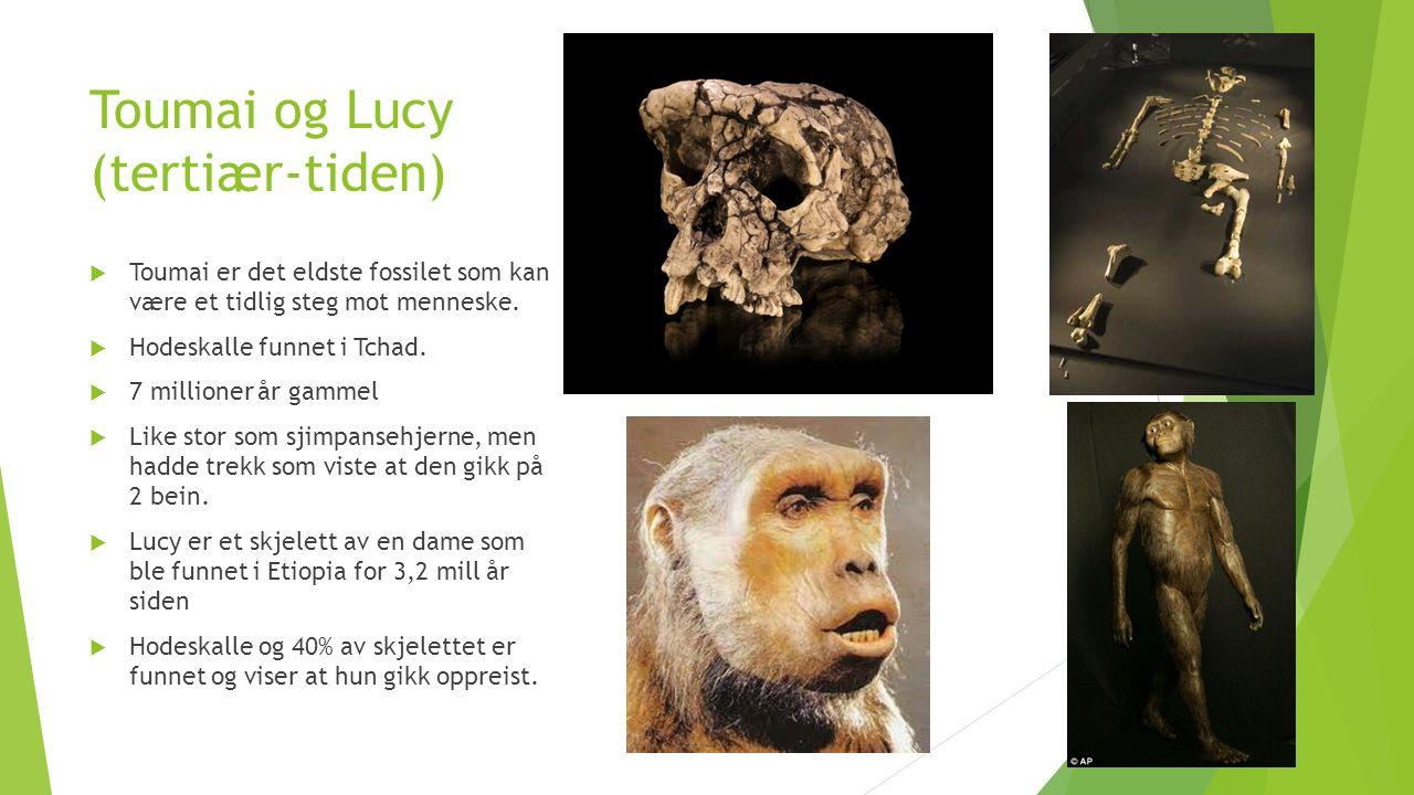 Toumai og Lucy (tertiær-tiden)  Toumai er det eldste fossilet som kan være et tidlig steg mot menneske.