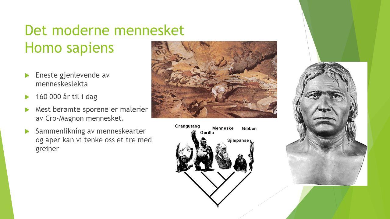 Det moderne mennesket Homo sapiens  Eneste gjenlevende av menneskeslekta  160 000 år til i dag  Mest berømte sporene er malerier av Cro-Magnon mennesket.
