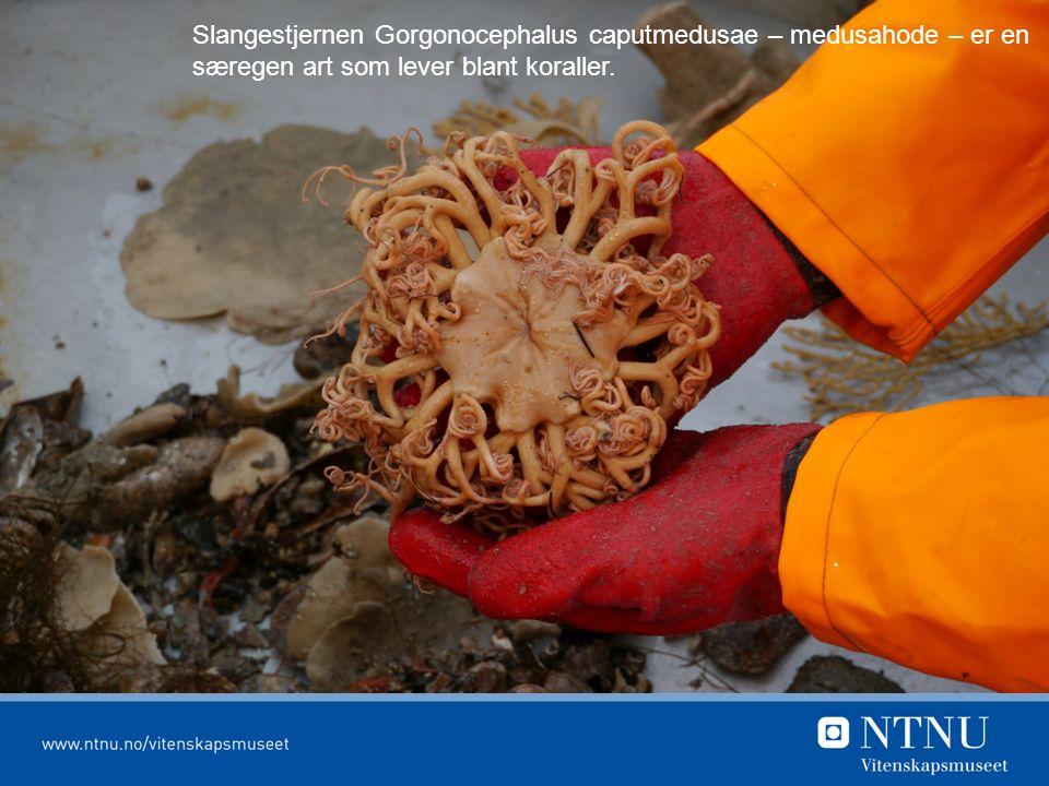 Slangestjernen Gorgonocephalus caputmedusae – medusahode – er en særegen art som lever blant koraller.