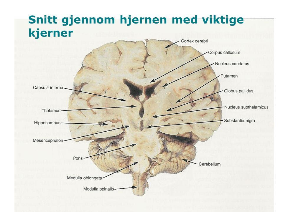 9 Snitt gjennom hjernen med viktige kjerner