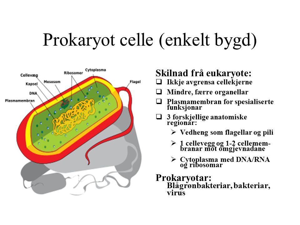 Prokaryot celle (enkelt bygd) Skilnad frå eukaryote:  Ikkje avgrensa cellekjerne  Mindre, færre organellar  Plasmamembran for spesialiserte funksjonar  3 forskjellige anatomiske regionar:  Vedheng som flagellar og pili  1 cellevegg og 1-2 cellemem- branar mot omgjevnadane  Cytoplasma med DNA/RNA og ribosomar Prokaryotar: Blågrønbakteriar, bakteriar, virus