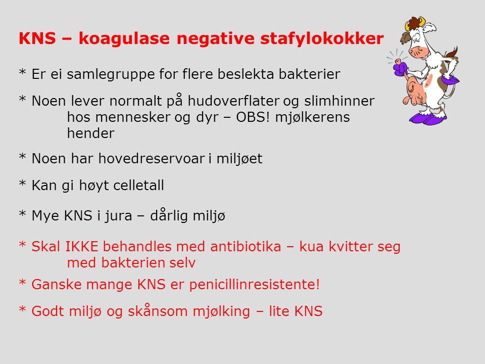KNS – koagulase negative stafylokokker * Noen lever normalt på hudoverflater og slimhinner hos mennesker og dyr – OBS.