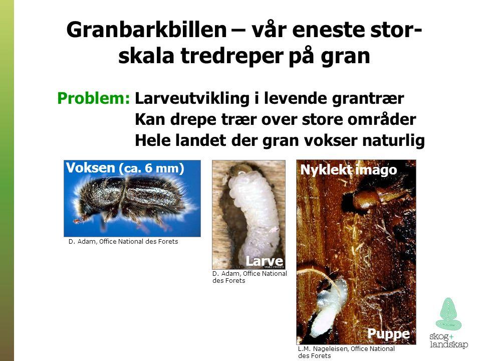 Problem: Larveutvikling i levende grantrær Kan drepe trær over store områder Hele landet der gran vokser naturlig D.