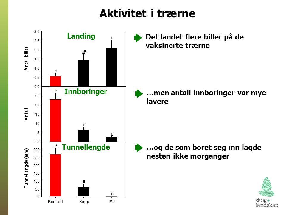 Aktivitet i trærne Landing Innboringer Tunnellengde Det landet flere biller på de vaksinerte trærne...men antall innboringer var mye lavere …og de som boret seg inn lagde nesten ikke morganger KontrollSoppMJ Tunnellengde (mm) 0 50 100 150 200 250 300 350 Antall 0 5 10 15 20 25 30 A A B B B C Antall biller 0.0 0.5 1.0 1.5 2.0 2.5 3.0 B AB A