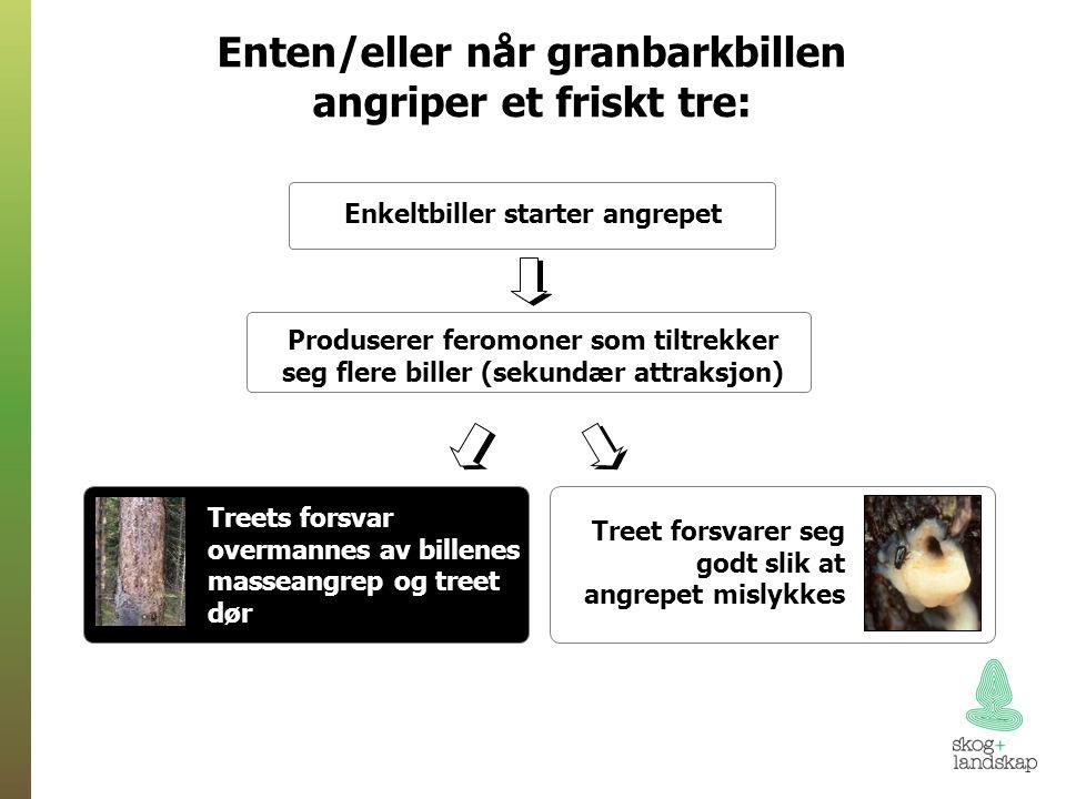 Enten/eller når granbarkbillen angriper et friskt tre: Enkeltbiller starter angrepet Produserer feromoner som tiltrekker seg flere biller (sekundær attraksjon) Treet forsvarer seg godt slik at angrepet mislykkes Treets forsvar overmannes av billenes masseangrep og treet dør