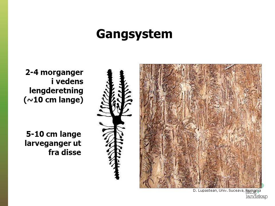Litt om vår nyeste forskning: Hvordan påvirker trærnes forsvar granbarkbillens valg av vertstrær?