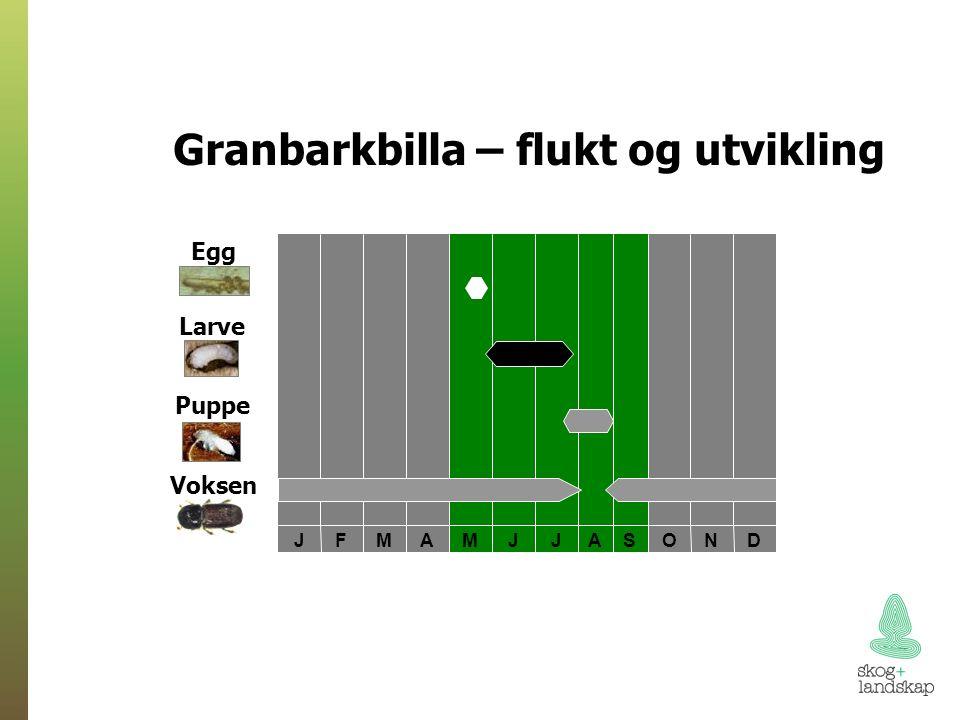 DNOSAJJMAMFJ Egg Larve Puppe Voksen Granbarkbilla – flukt og utvikling