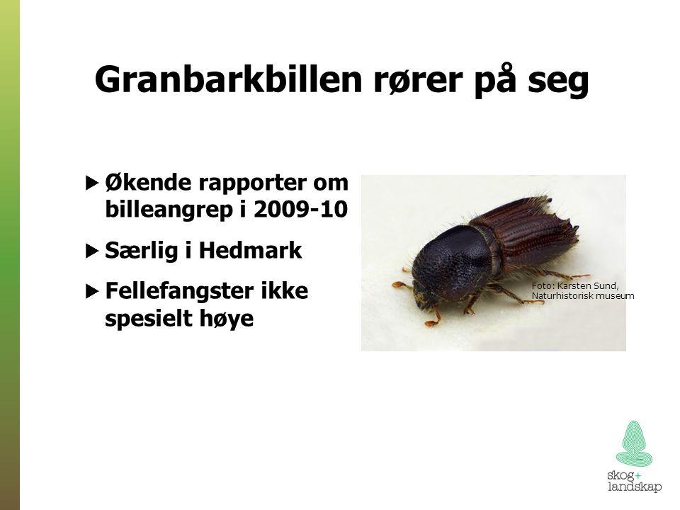 Granbarkbillen rører på seg Foto: Karsten Sund, Naturhistorisk museum  Økende rapporter om billeangrep i 2009-10  Særlig i Hedmark  Fellefangster ikke spesielt høye