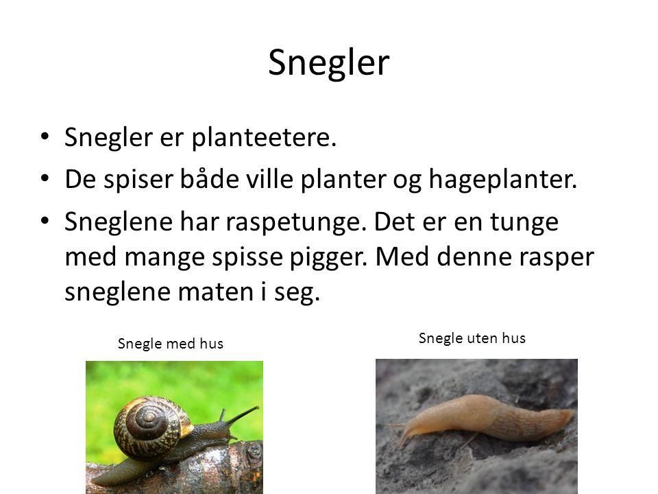 Snegler Snegler er planteetere.De spiser både ville planter og hageplanter.