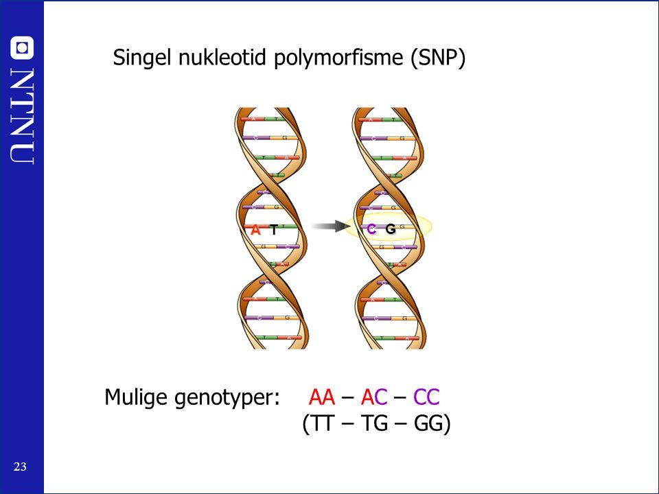 23 A T C G Singel nukleotid polymorfisme (SNP) Mulige genotyper: AA – AC – CC (TT – TG – GG)