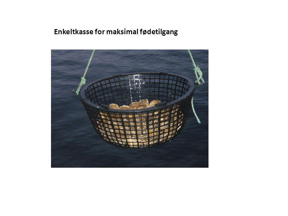 Røktebåt til østers, enkeltkasser