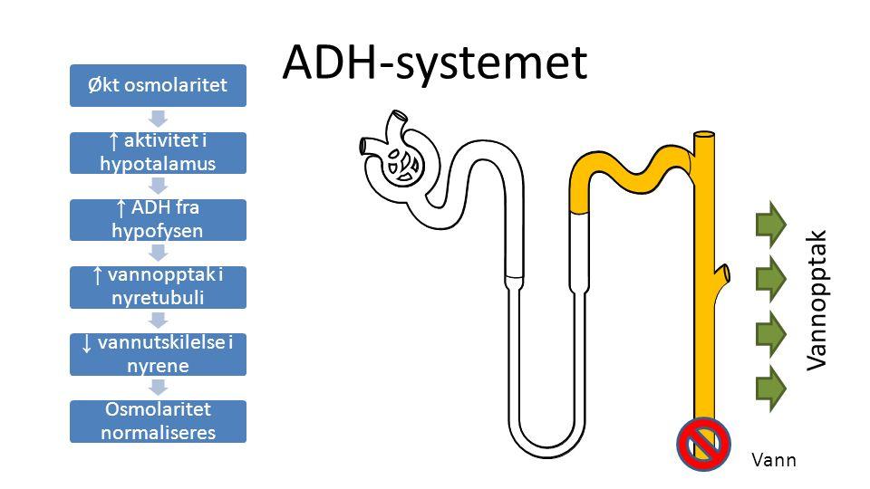ADH-systemet Økt osmolaritet ↑ aktivitet i hypotalamus ↑ ADH fra hypofysen ↑ vannopptak i nyretubuli ↓ vannutskilelse i nyrene Osmolaritet normaliseres Vannopptak Vann