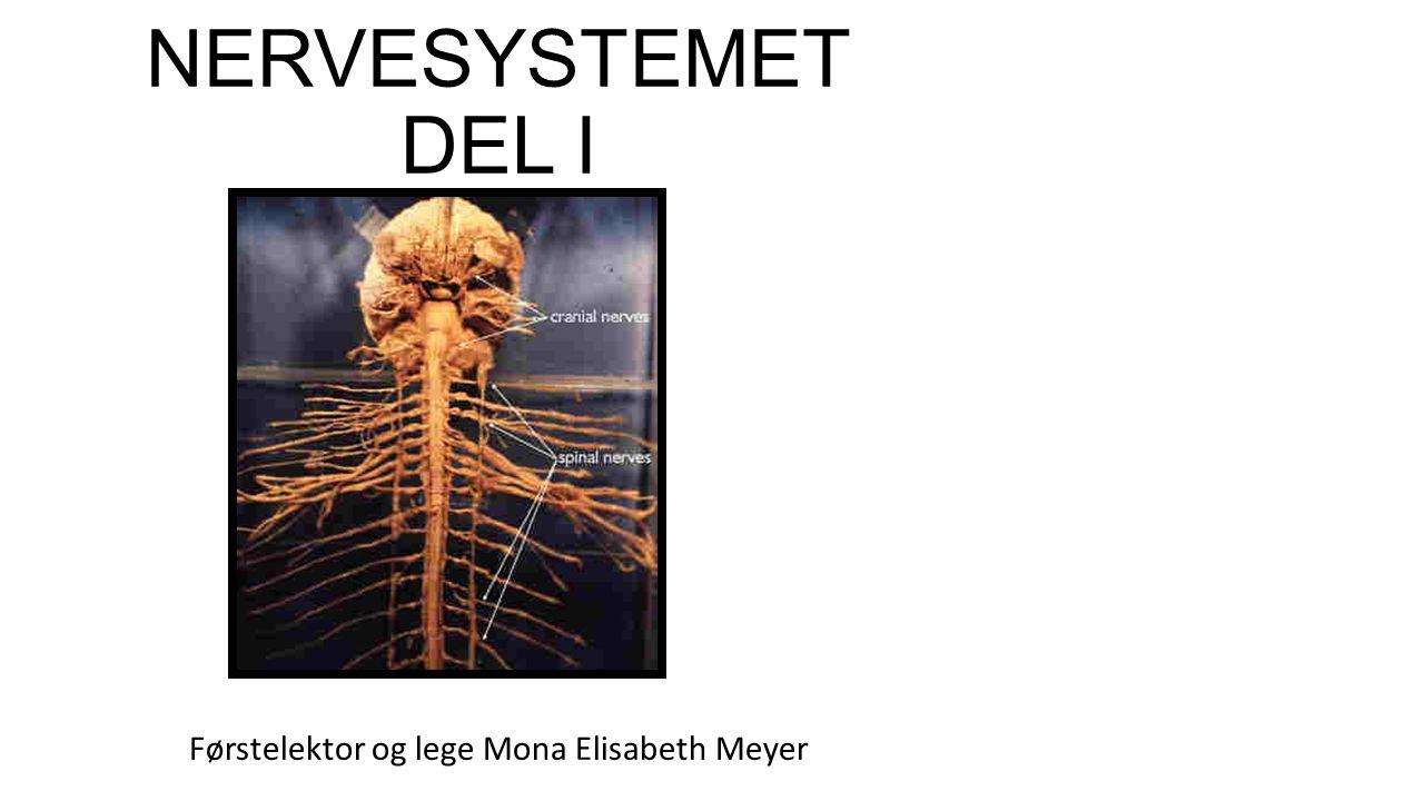 NERVESYSTEMET DEL I Førstelektor og lege Mona Elisabeth Meyer