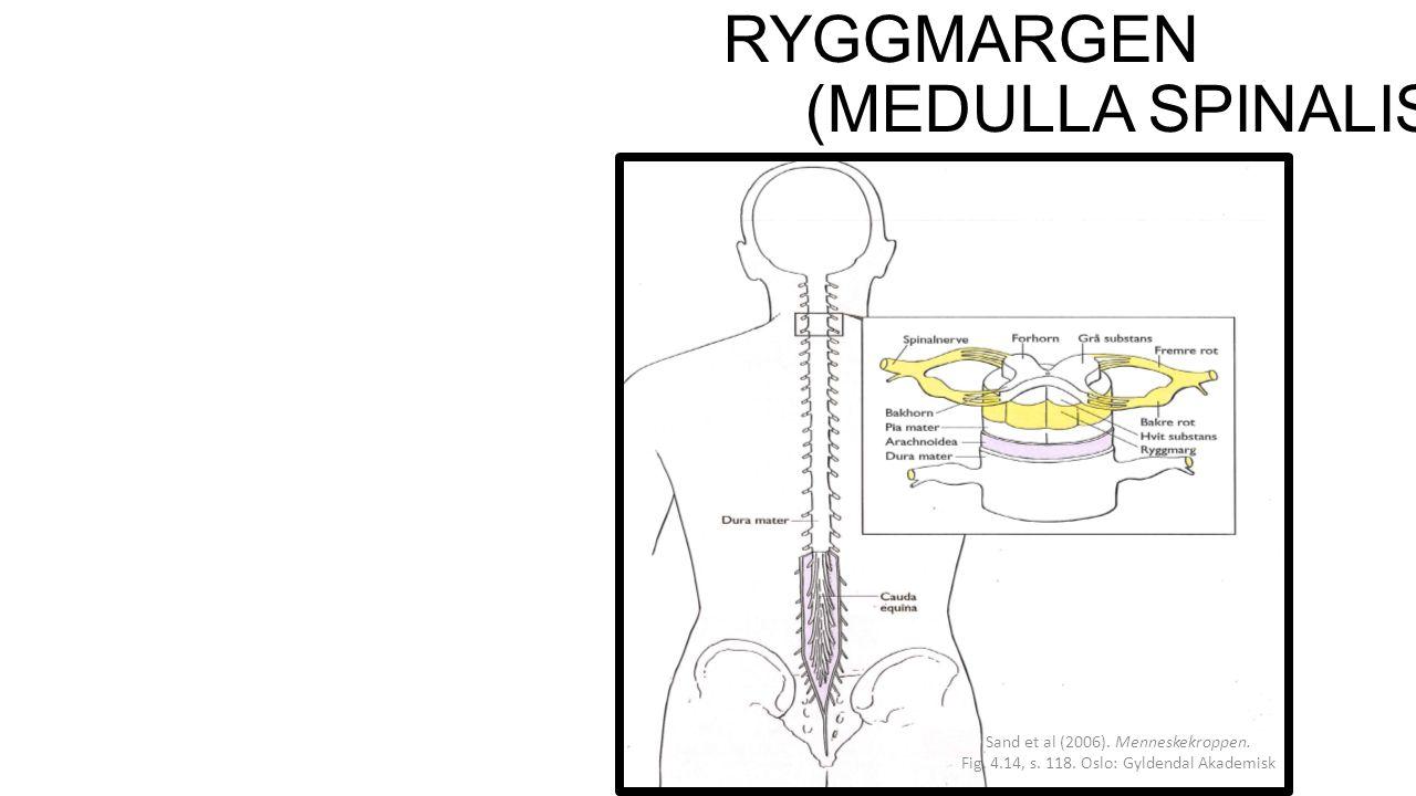 RYGGMARGEN (MEDULLA SPINALIS) Sand et al (2006).Menneskekroppen.