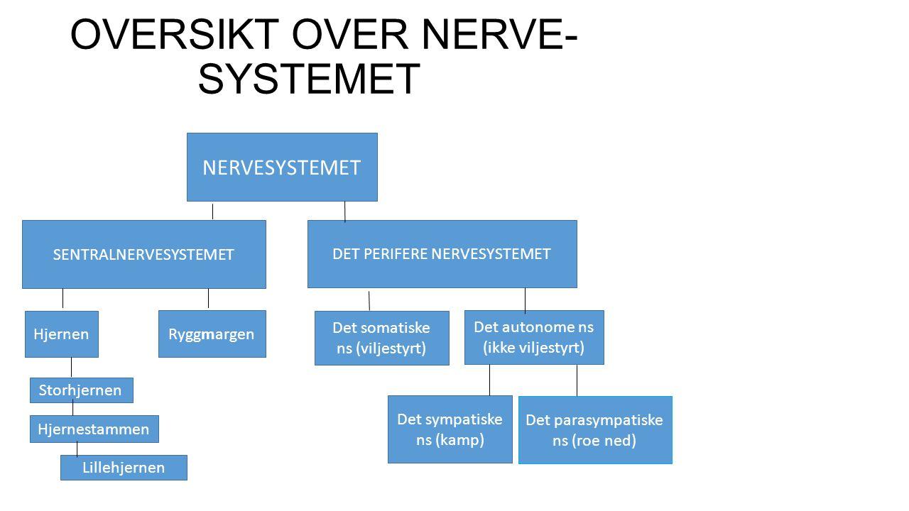OVERSIKT OVER NERVE- SYSTEMET NERVESYSTEMET SENTRALNERVESYSTEMET DET PERIFERE NERVESYSTEMET Hjernen Ryggmargen Storhjernen Hjernestammen Lillehjernen Det somatiske ns (viljestyrt) Det autonome ns (ikke viljestyrt) Det sympatiske ns (kamp) Det parasympatiske ns (roe ned)