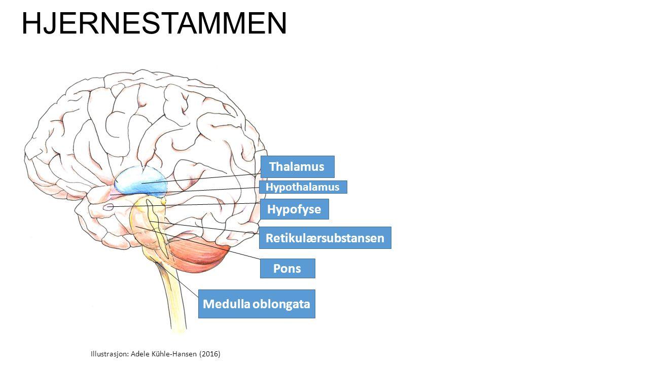 HJERNESTAMMEN Thalamus Hypothalamus Hypofyse Retikulærsubstansen Pons Medulla oblongata Illustrasjon: Adele Kühle-Hansen (2016)