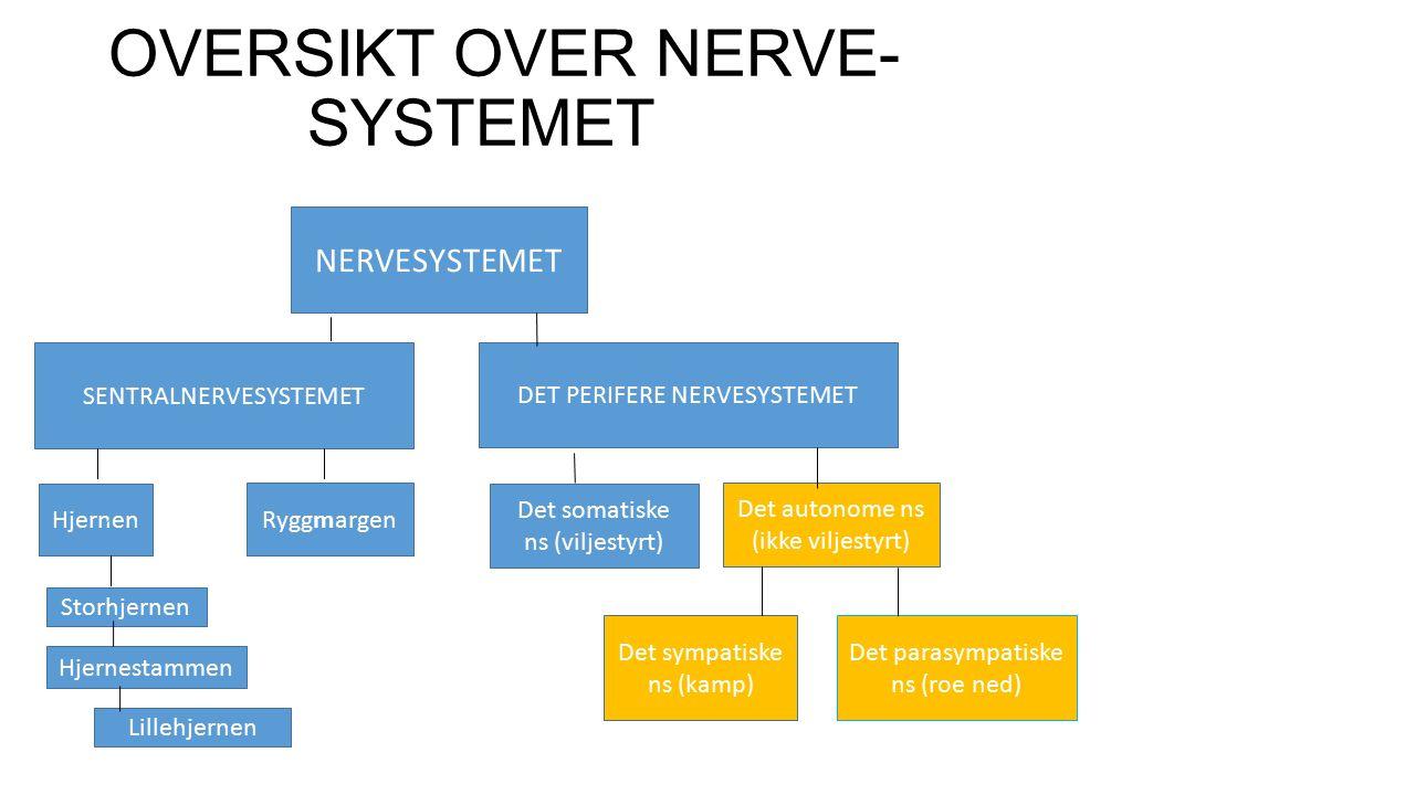 OVERSIKT OVER NERVE- SYSTEMET NERVESYSTEMET SENTRALNERVESYSTEMET DET PERIFERE NERVESYSTEMET Hjernen Ryggmargen Storhjernen Hjernestammen Lillehjernen