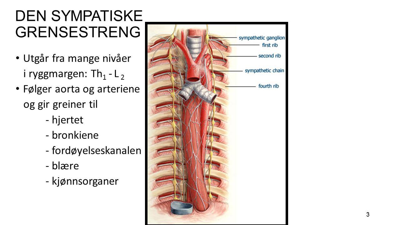 3 DEN SYMPATISKE GRENSESTRENG Utgår fra mange nivåer i ryggmargen: Th 1 - L 2 Følger aorta og arteriene og gir greiner til - hjertet - bronkiene - for