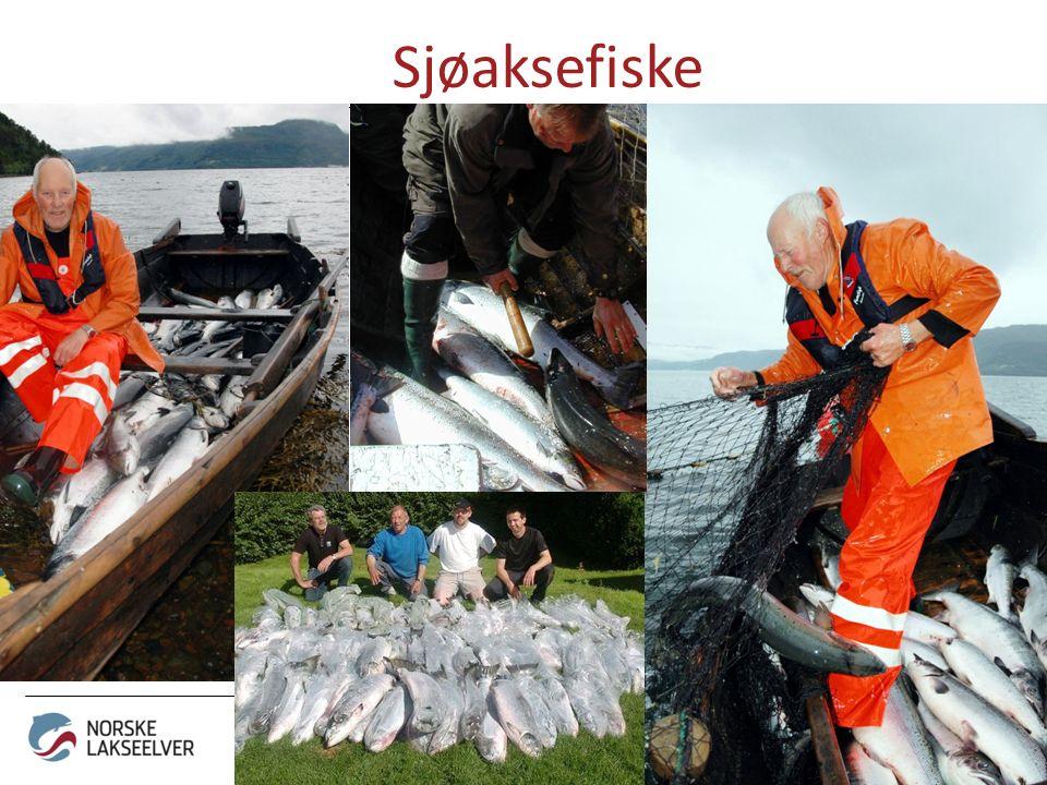 Sjøaksefiske - for mer liv i elva!