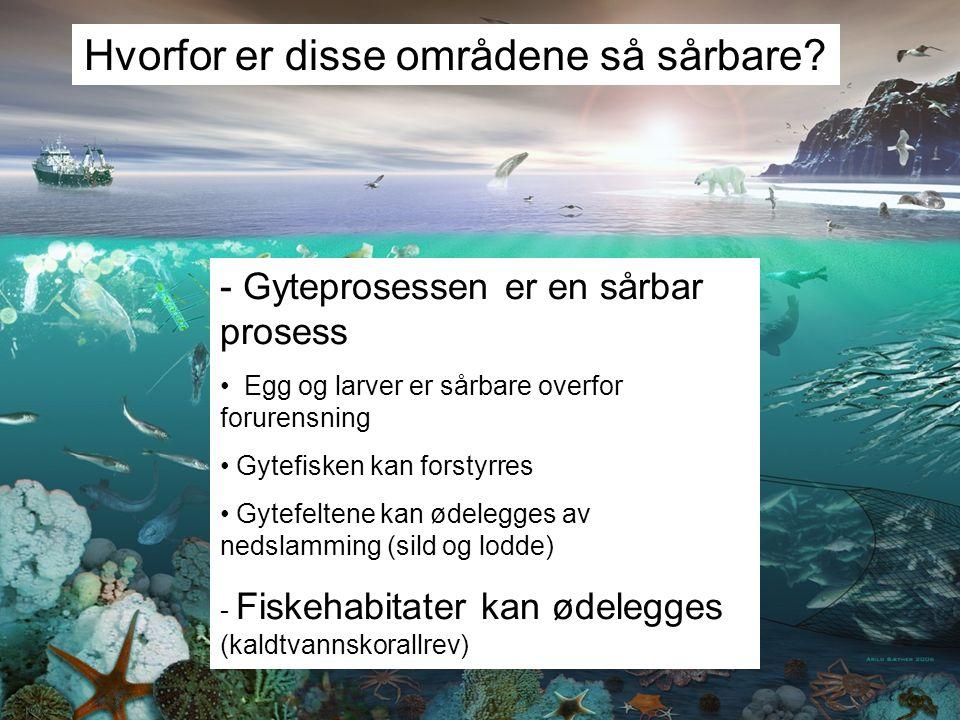 Hvorfor er disse områdene så sårbare? - Gyteprosessen er en sårbar prosess Egg og larver er sårbare overfor forurensning Gytefisken kan forstyrres Gyt