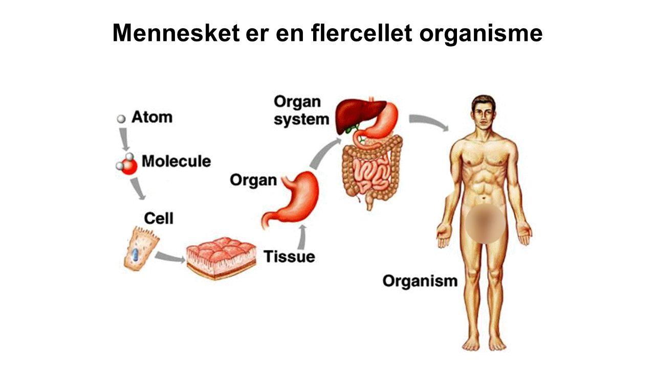 Mennesket er en flercellet organisme