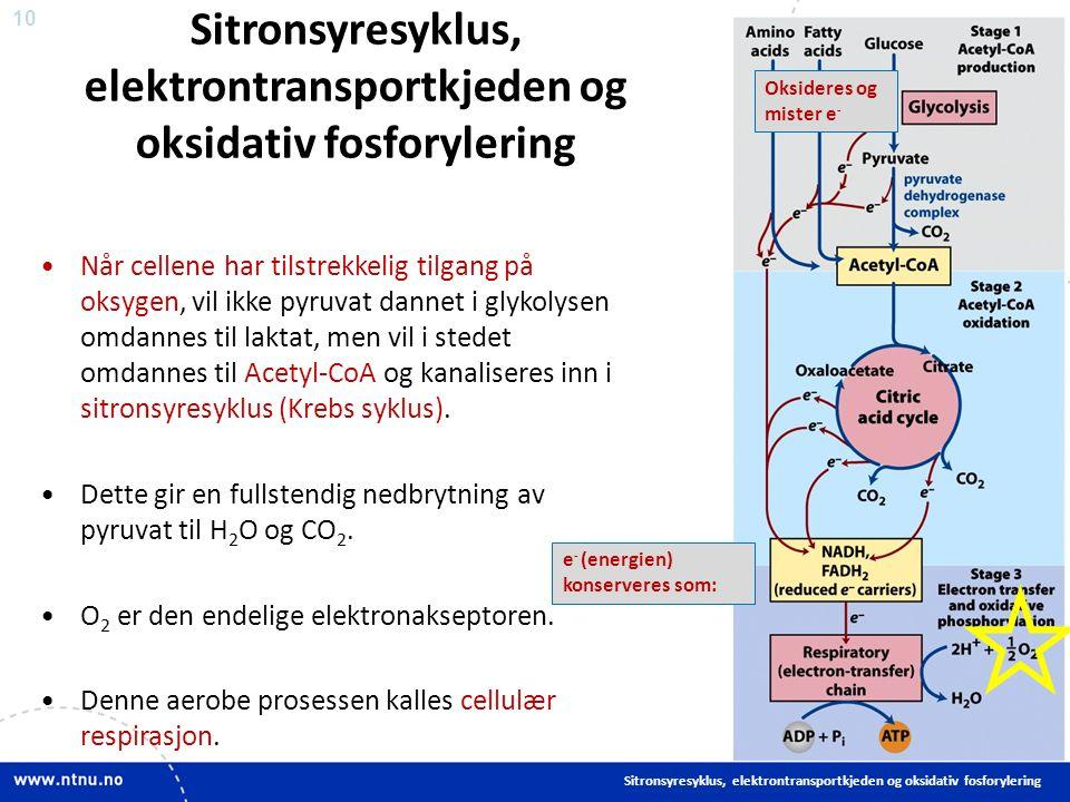 10 Sitronsyresyklus, elektrontransportkjeden og oksidativ fosforylering Når cellene har tilstrekkelig tilgang på oksygen, vil ikke pyruvat dannet i glykolysen omdannes til laktat, men vil i stedet omdannes til Acetyl-CoA og kanaliseres inn i sitronsyresyklus (Krebs syklus).
