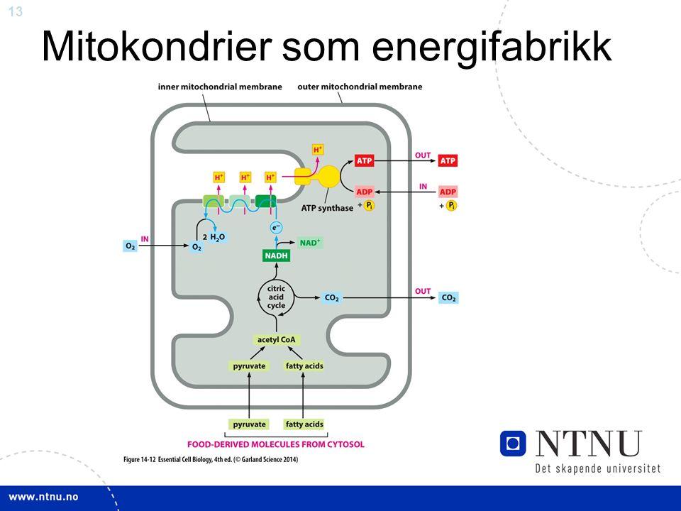 13 Mitokondrier som energifabrikk