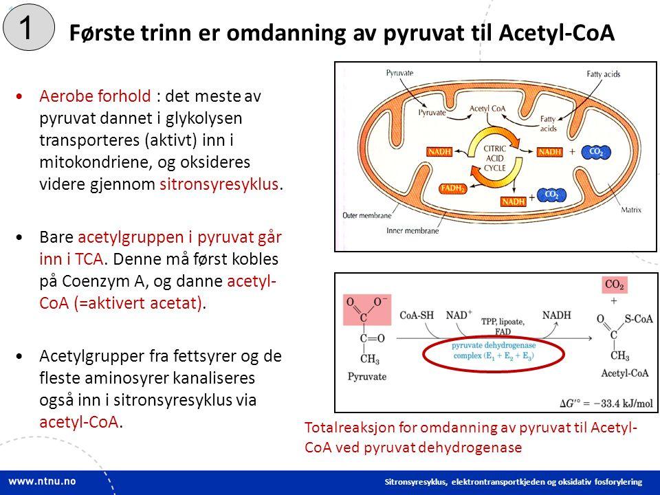 14 Aerobe forhold : det meste av pyruvat dannet i glykolysen transporteres (aktivt) inn i mitokondriene, og oksideres videre gjennom sitronsyresyklus.