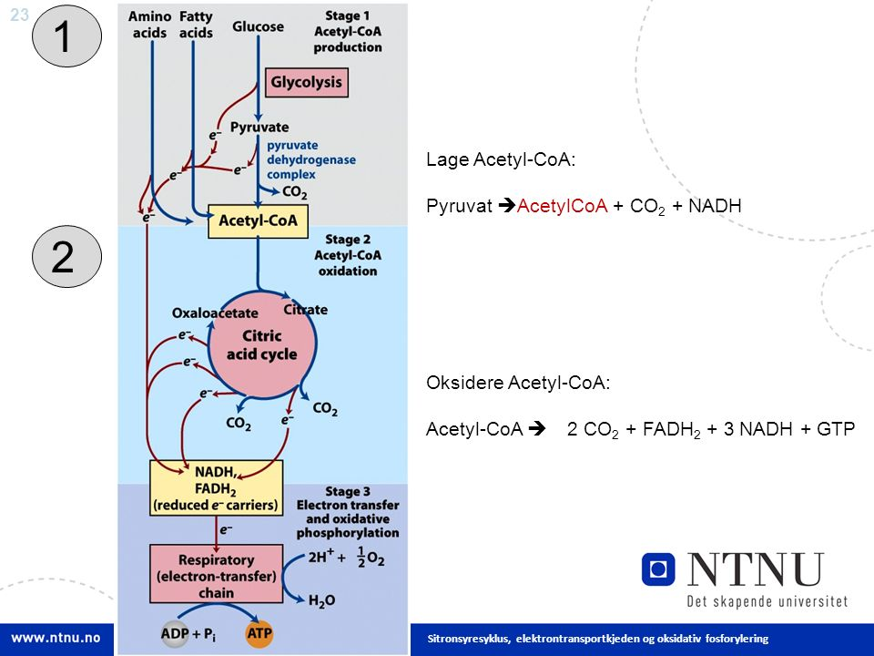 23 Sitronsyresyklus, elektrontransportkjeden og oksidativ fosforylering 1 2 Lage Acetyl-CoA: Pyruvat  AcetylCoA + CO 2 + NADH Oksidere Acetyl-CoA: Acetyl-CoA  2 CO 2 + FADH 2 + 3 NADH + GTP