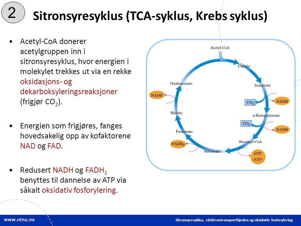 24 Sitronsyresyklus (TCA-syklus, Krebs syklus) Sitronsyresyklus, elektrontransportkjeden og oksidativ fosforylering Acetyl-CoA donerer acetylgruppen inn i sitronsyresyklus, hvor energien i molekylet trekkes ut via en rekke oksidasjons- og dekarboksyleringsreaksjoner (frigjør CO 2 ).