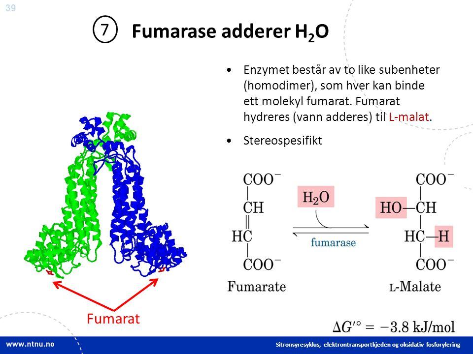 39 Fumarase adderer H 2 O 7 Enzymet består av to like subenheter (homodimer), som hver kan binde ett molekyl fumarat.